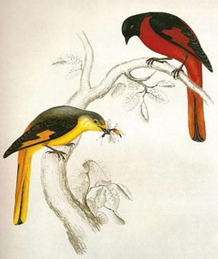 Pericrocotus Brevirostris
