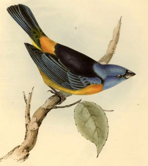 Tanagra Darwini