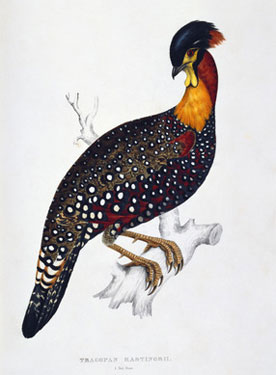 Tragopan-Hastingsii;-from-A-Century-of-Birds-from-the-Himalayas